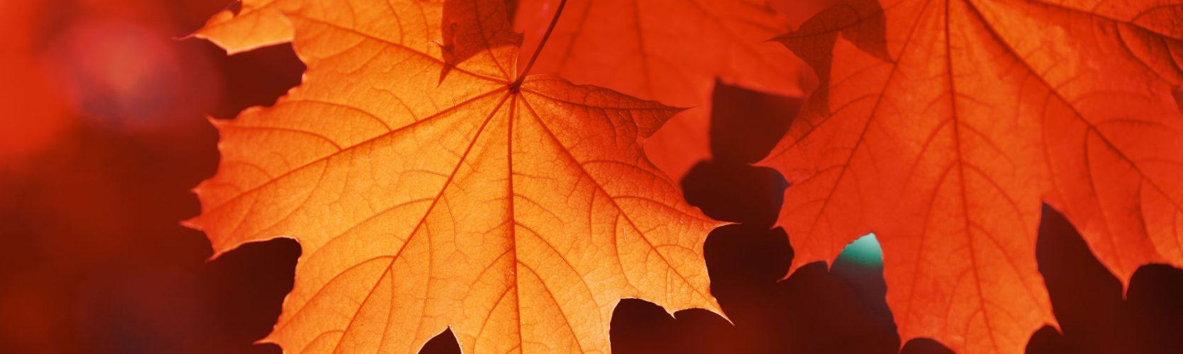 Muttart Foundation maple leaf red autumn